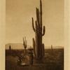 51Harvesting cactus fruit (Ma