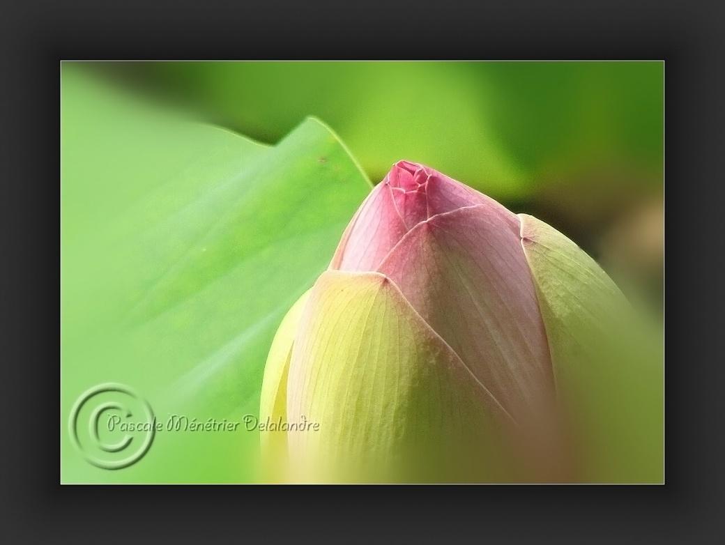 Boutons de Lotus sacrés...