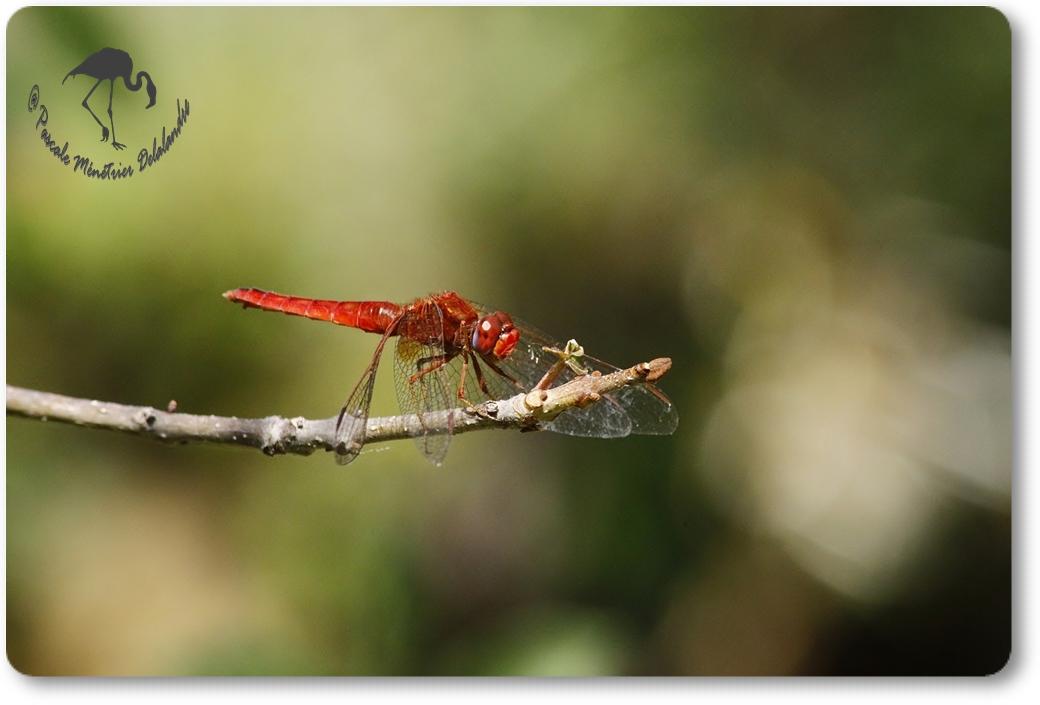 Libellule Sympétrum de Fonscolombe (Sympetrum fonscolombii) mâle...