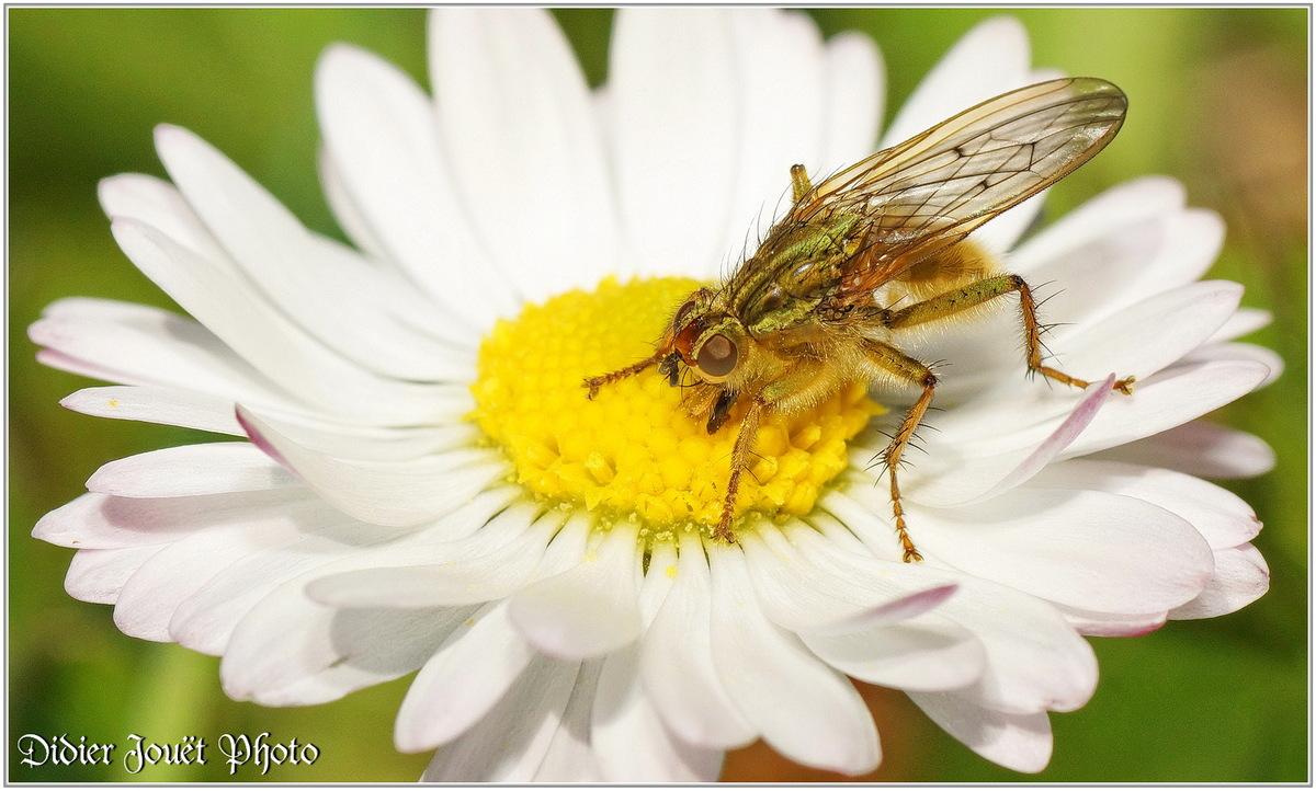 Mouche Scatophage du Fumier (3) - Scathophaga stercoraria