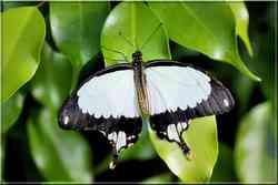 Papillons Tropicaux Papilio dardanus Papilionidae