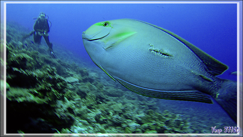 Chirurgien à queue blanche, Elongate surgeonfish or Pale surgeonfish (Acanthurus mata) - Passe Tumakohua (passe sud) - Atoll de Fakarava - Tuamotu - Polynésie française
