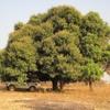 Bénin Enfin un bivouac sous les manguiers