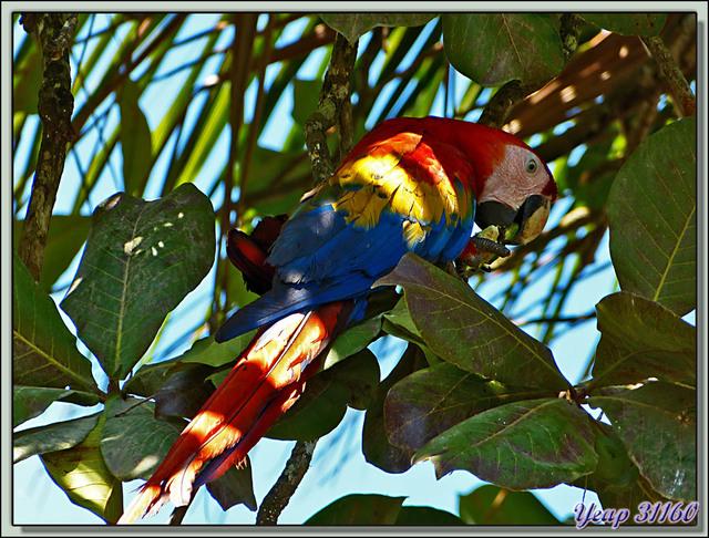 Blog de images-du-pays-des-ours : Images du Pays des Ours (et d'ailleurs ...), Le repas du perroquet Ara Rouge (Ara macao) - La Palma - Puerto Jiménez - Costa Rica