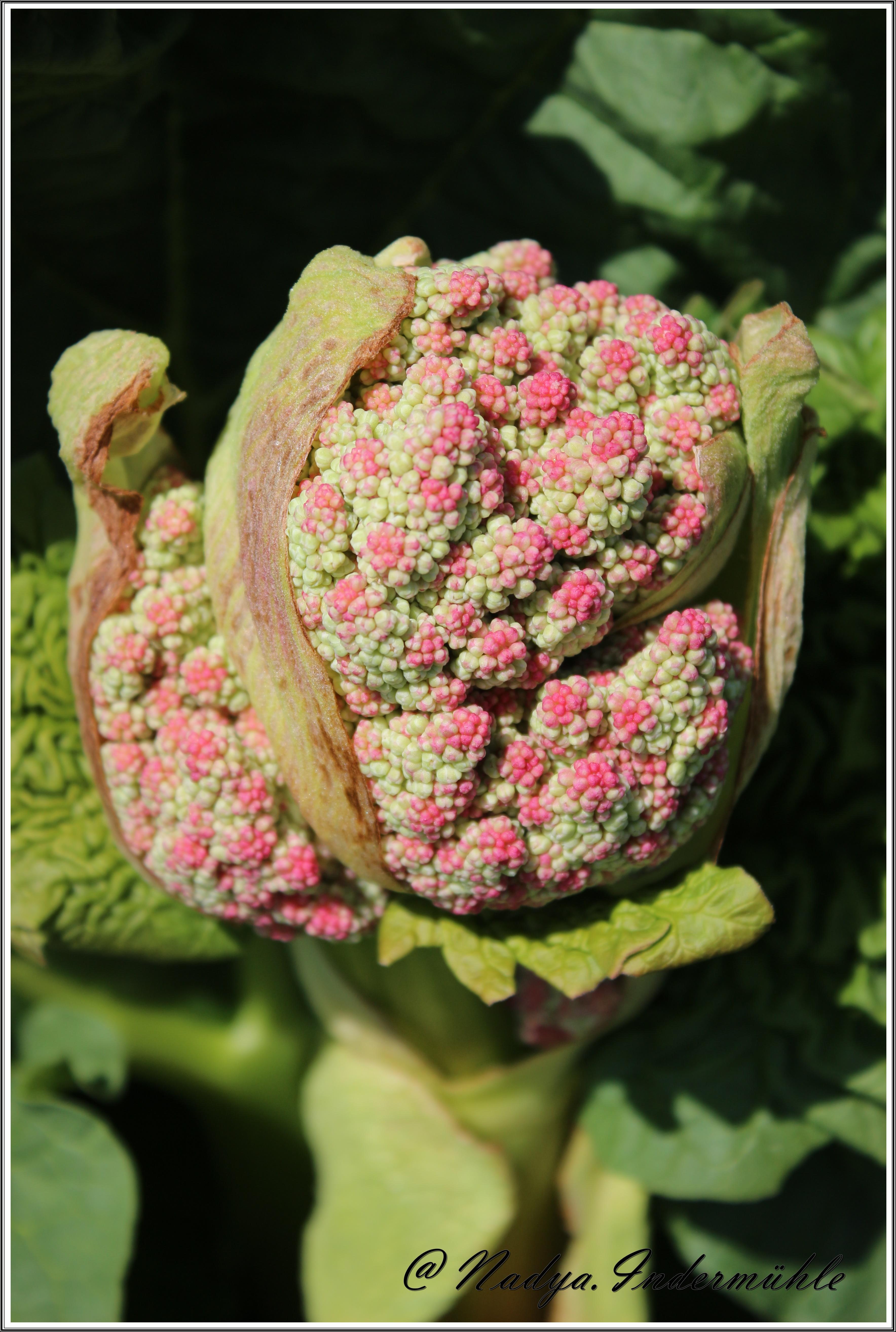 Fleur De Rhubarbe La Photo Ma Passion