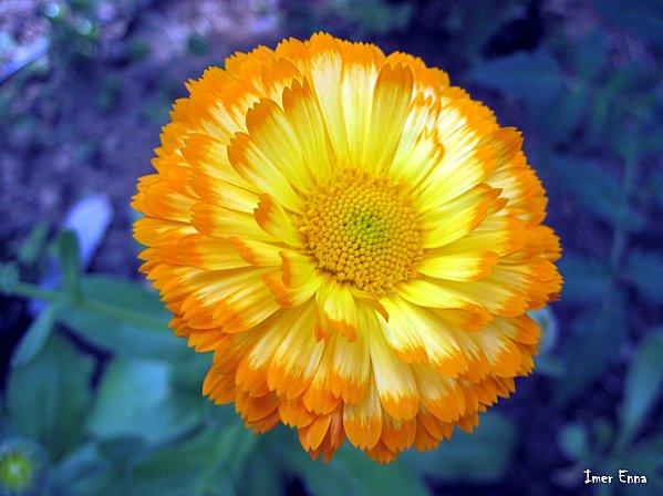 Fleurs-4180.JPG
