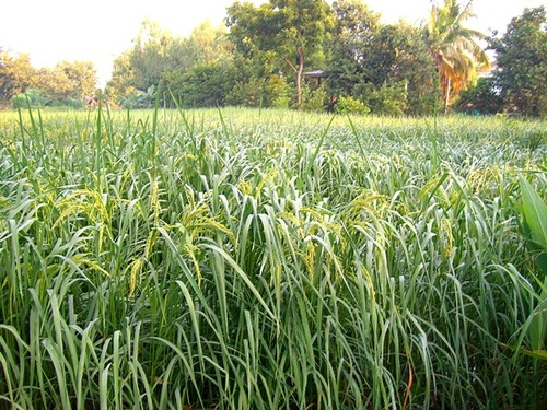 La rizière dans tous ses états !