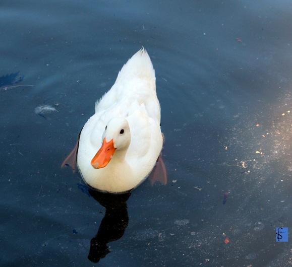 Un canard blanc