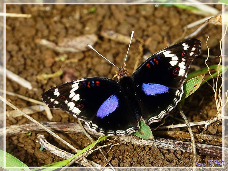 Papillon Junonia oenone, Dark blue pansy (Junonia oenone epiclelia) - Nosy Be - Madagascar