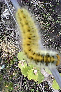 Lasiocampa Trifolii ou Bombyx du trèfle