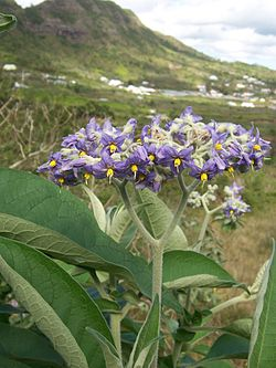 250px-Solanum_mauritianum.jpg