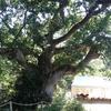 Le chêne de Merlin