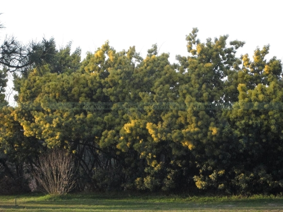 Mimosa_8-3-15 (4)