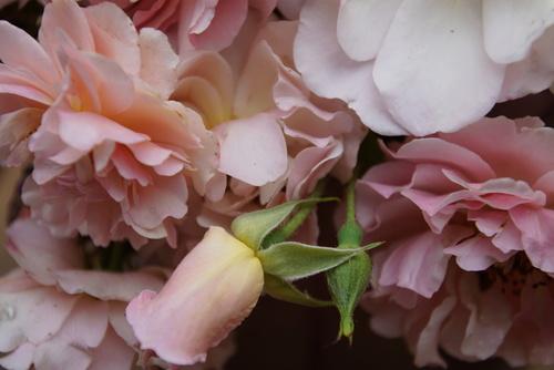 Toujours rose douceur