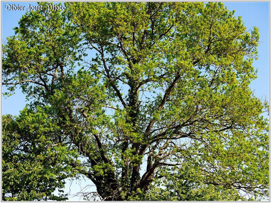 Chêne / Quercus
