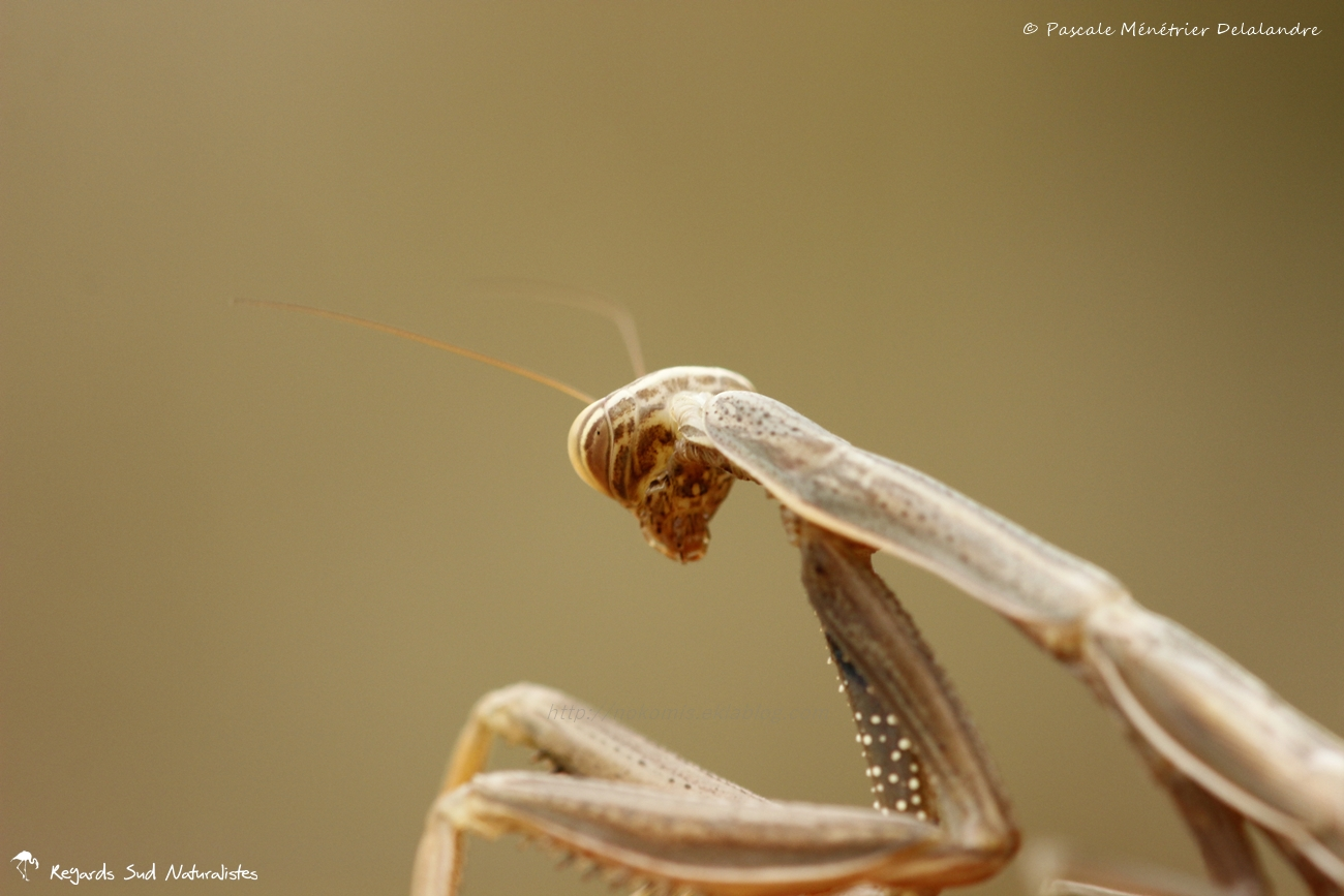 Mantis religiosa forme brune immature - Mante religieuse