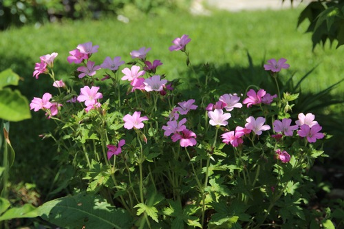Geranium oxonianum Hollywood