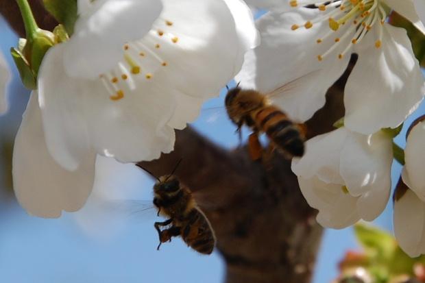 cerisier13g