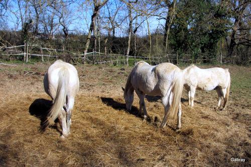 Les chevaux dans le pré ...
