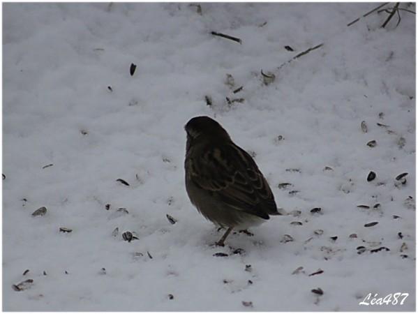 Oiseaux-2-0037-moineau-sans-queue.jpg