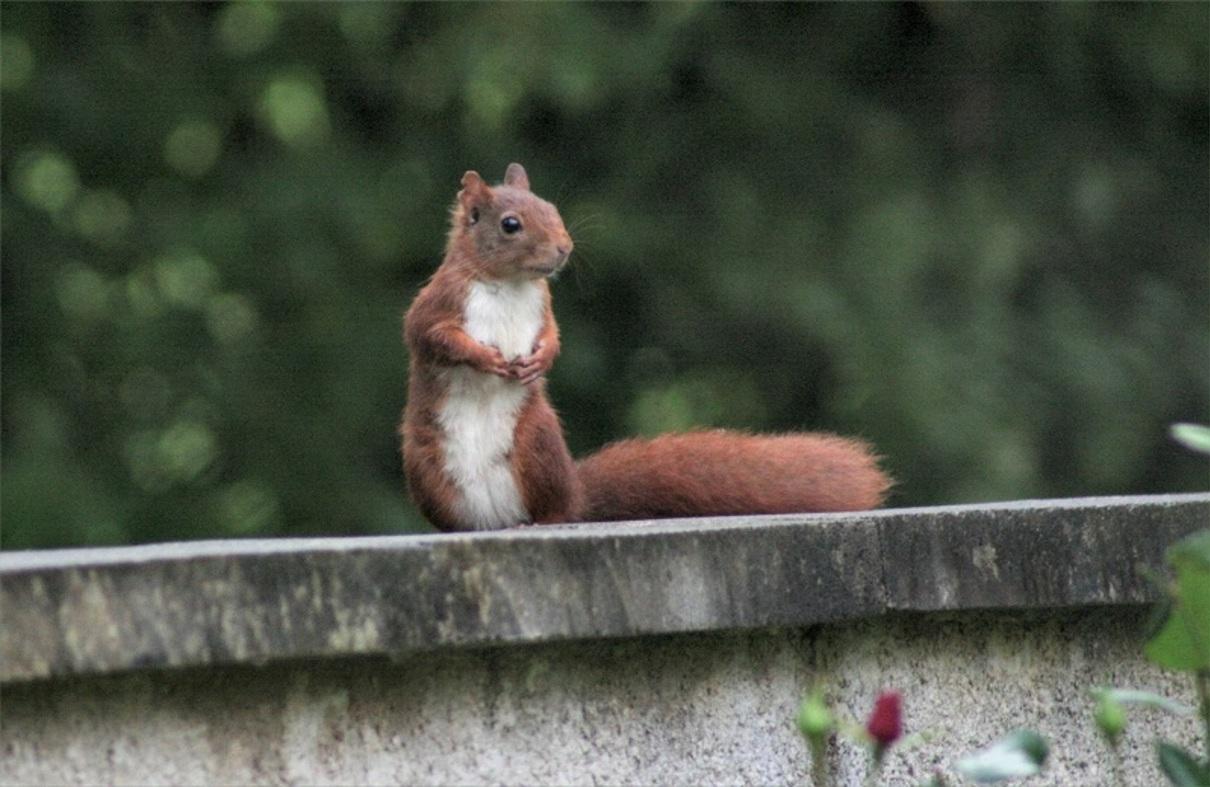 Ecureuils sauvages dans notre jardin.