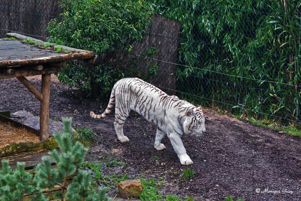 Les tigres blancs du zoo d'Amnéville