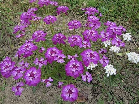 fleurs de chez ma grand mére (7)