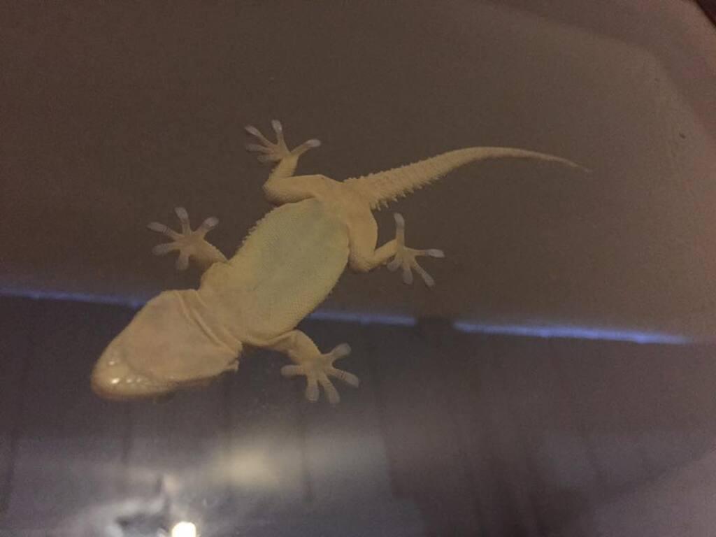 La tarente ou gecko !