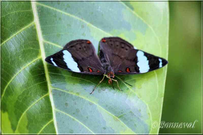 Papillons tropicaux Nessaea aglaura Nymphalidae Bibliidinae