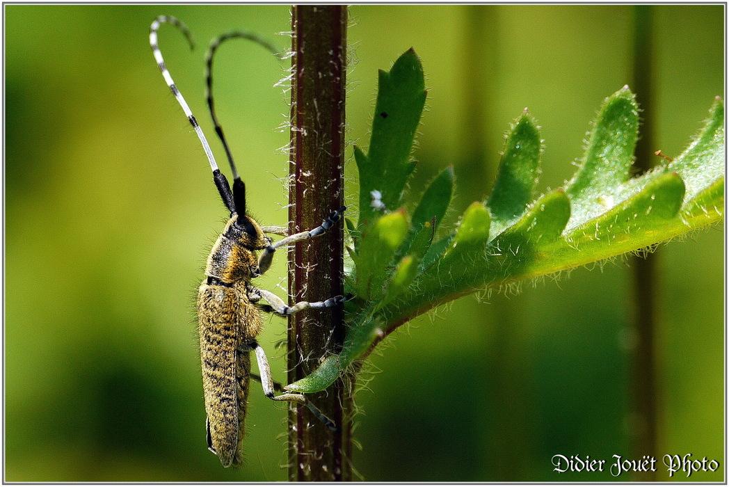 Agapanthie à Pilosité Verdâtre / Agapanthia villosoviridescens