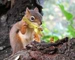 L'écureuil roux.