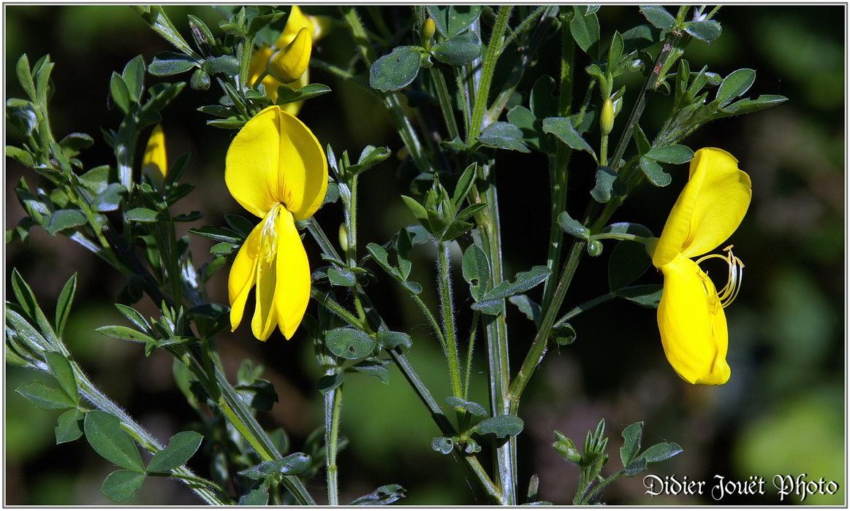 Genêt à Balais / Cytisus scoparius