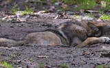 Loup gris - p 347