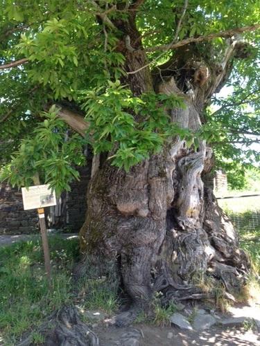 Chêne de 800 ans en galice