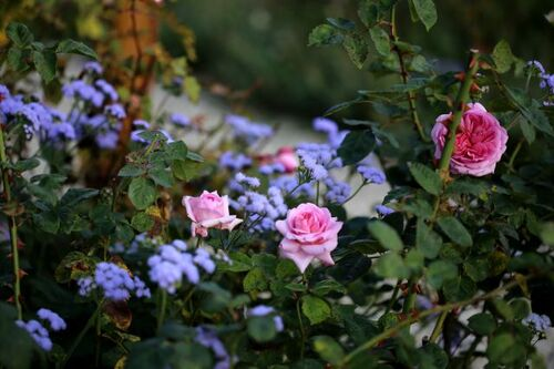 Les Roses de Warren : Asteropé
