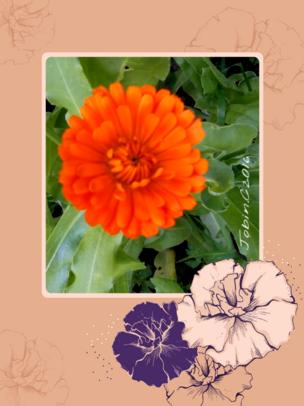 Le souci ou souci officinal (Calendula officinalis)