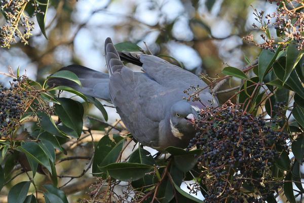 Pigeon ramier - Jardin des Plantes