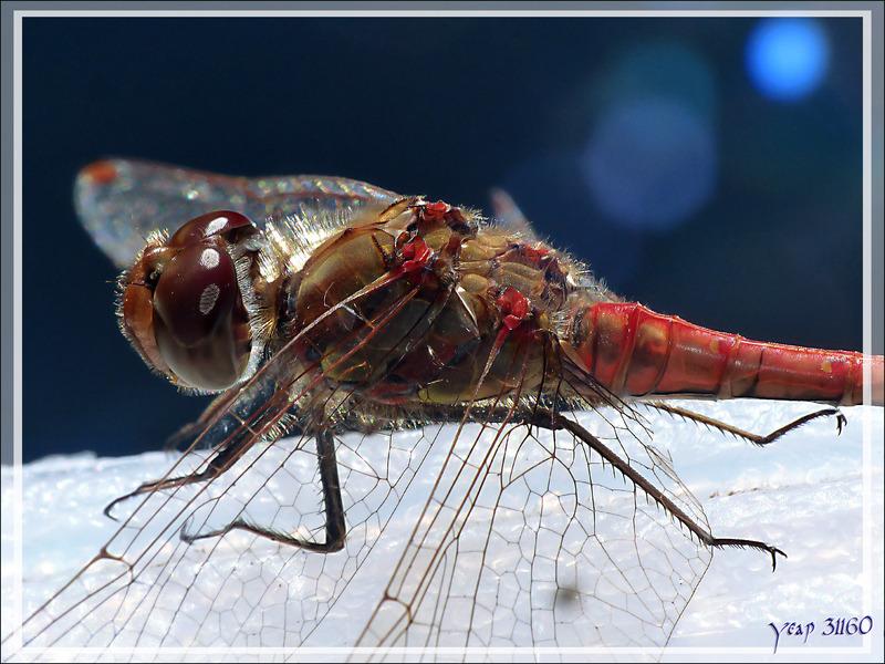 Libellule rouge Sympétrum strié (Sympetrum striolatum) mâle - Lartigau - Milhas - 31