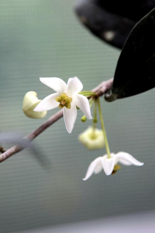 Fleurs cultivées : HOYA