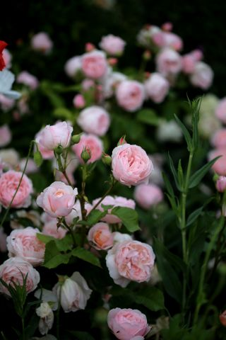 Les roses de Warren : Blissful Sensations