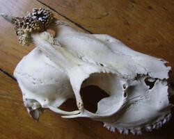 crane chevreuil