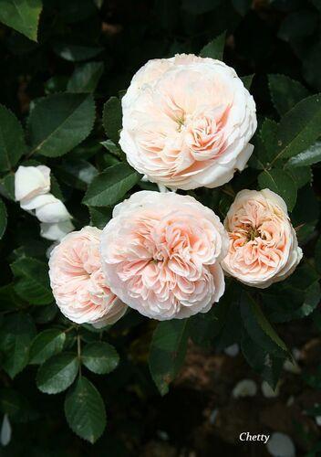 Les Roses de Warren : Chetty