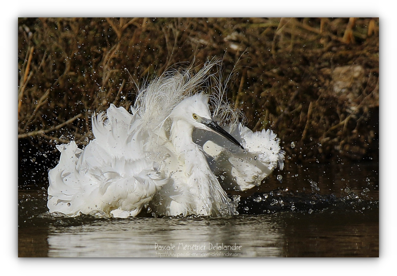 Le bain de l'Aigrette garzette