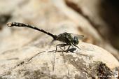 Onychogomphe à crochets ♂ - Onychogomphus uncatus