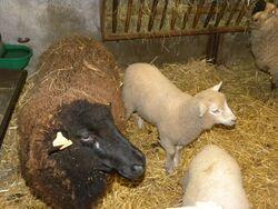 Les moutons-Maman brebis et bébé agneau