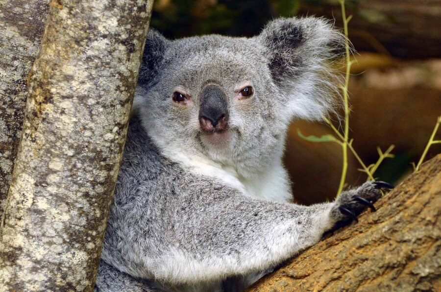 « Koala du Queensland »