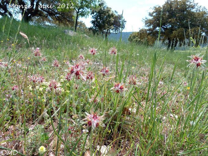 Trifolium stellatum  -  trèfle étoilé