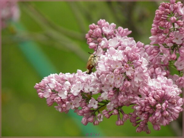 Papillons sur le lilas