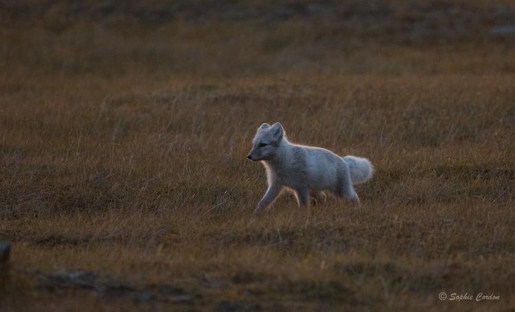 Un renne dans le coucher de soleil