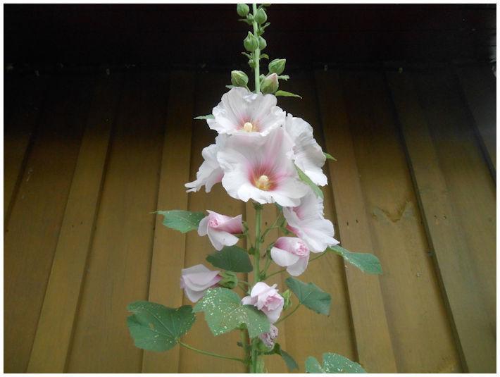 Rose trémière ( rose et blanche )